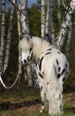 Appy indian horse Appaloosa horse equine native american pony leopard ...