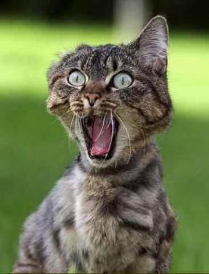 Funny Cat in Tiger Mood : I am the Tiger , Not Tiger woods - Cat !