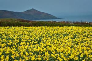 Summary Of Daffodils…