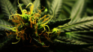 Marijuana quotes galore. These are some of our personal favorites we ...