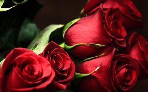 red roses, most popular rose, rose wallpapers, beautiful rose, red ...
