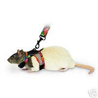 Pet Rats - Taming, teaching and training rats!