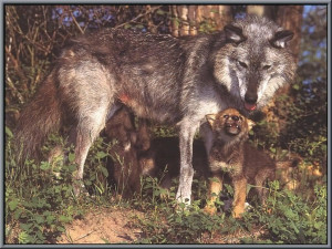 Cute Little Wolf Baby