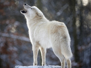 White Wolf Quotes