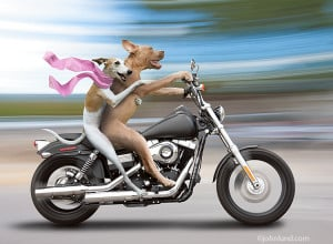 Funny photo of a Whippet and a Pit Bull dog riding a Harley-Davidson ...