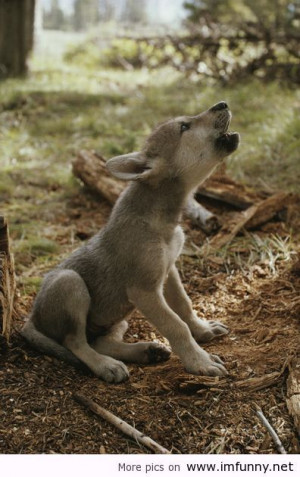 Wolf Pup's First Howl / Funny Pictures, Funny Quotes – Photos, ...