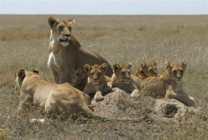 Lion Pride Quotes