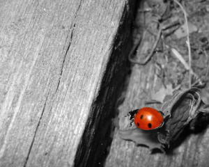 Red Lady Bug Wallpapers