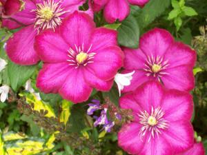 Clematis Rouge Cardinal Group 2 Summer Flowering