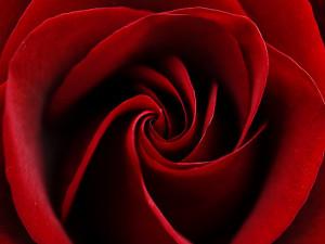 Jenni77 › Portfolio › Blood Red Rose