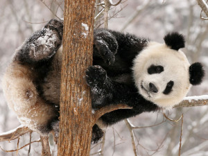 Funny Panda Wallpapers