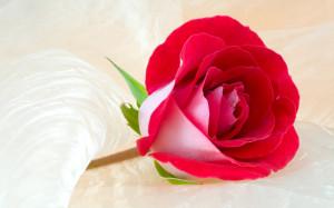 Beautiful Rose Flowers - Wallpaper #14542