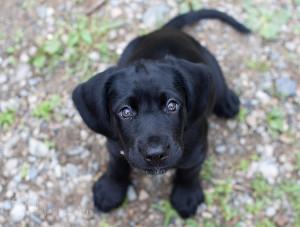 Black Lab Puppy Eyes