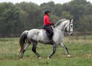 Quarter Horse Thoroughbred Cross