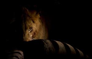 Lion on a zebra kill, by Alistair Swartz. Even an adult male lion must ...