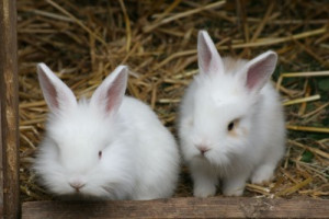 Pet Rabbits- Health and Care