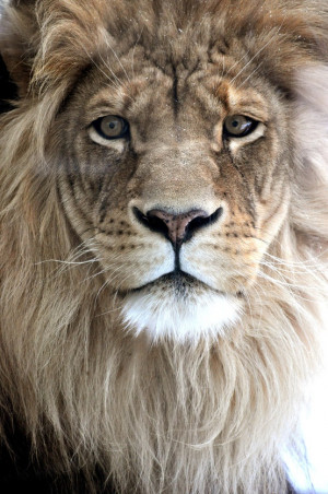 Lion Quotes Strength Lion strength tattoo