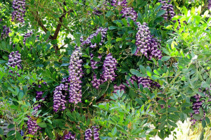 Abstract the Mescal Bean Tree