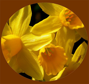 Daffodils with Quotes
