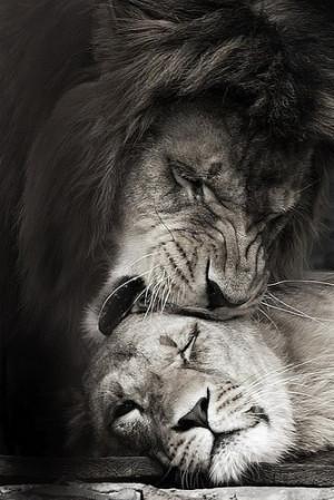 famous lion and lioness quotes lion lioness quotes lioness quote lions ...