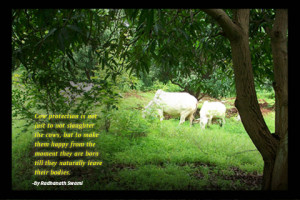 cow protection is not just to not slaughter the cows but to make them ...