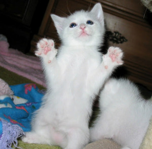 Related Pictures cute polydactyl paws up surrender hemingway cat