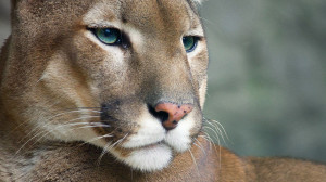 Full View and Download Cougar Wallpaper 2 with resolution of 1920x1080 ...