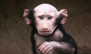 Oh god, why didn't you gave Bald head to all monkeys? it is very ...