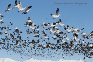 Palmer Alaska Bird Migration ~ Alaska Photographer GC