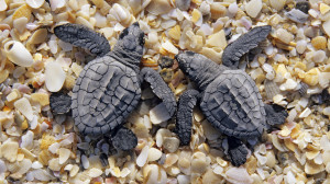 Couple Anamils Sea Animal Turtle Resolution HD Wallpaper