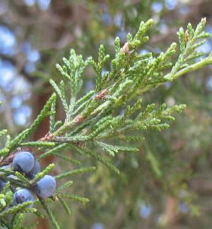 Eastern Red Cedar Leaf
