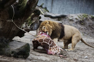 In addition to the lions, the giraffe's remains will be given to the ...