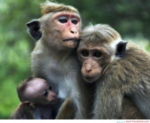 Cute Monkey Funny HD Wallpaper