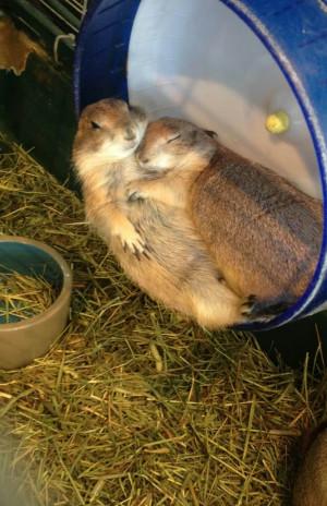 Prairie Dogs Cuddling