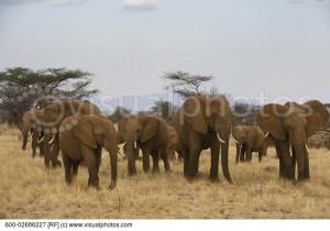 Herd of Elephants, Kenya