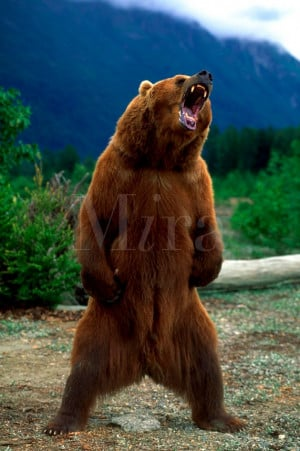 Angry Bear Standing Photo