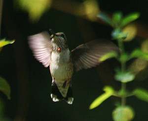 ... -throated Hummingbird looking for likely blooms to sample this week