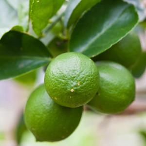 Citrus Fruits Pruners