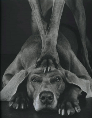 Теги: William Wegman и его собаки