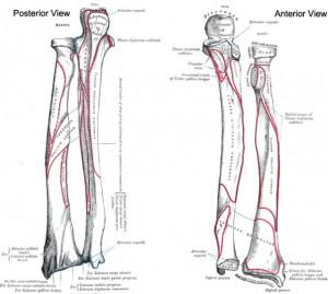 Radius and Ulna Bone Anatomy