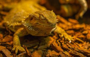 Bearded Dragon Feeding For...