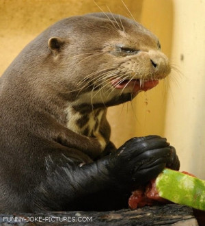 Funny Otter Tastes Watermelon Picture Photograph