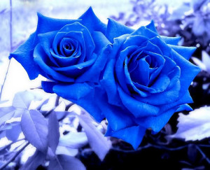 All Graphics » a dozen of blue roses