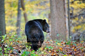 black bear food