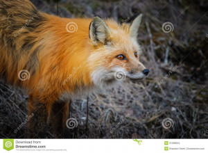 Red Fox Parks Canada Pleau
