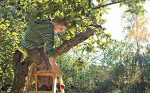 Fruit of your labour: pruning can be the cause of apple tree problems ...
