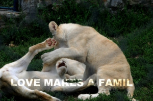 family animals quotes lions playing 3324x2208 wallpaper Mammals lions ...