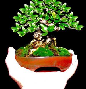 Images Bonsai Olive Tree