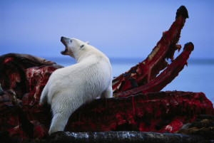 polar bear feeding on the jaws of a bowhead whale