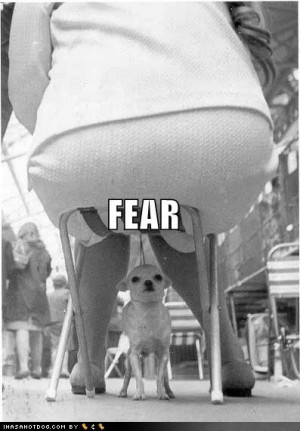 Funny Chihuahuas A chihuahua's worst fear